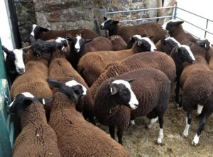 Zwartbles Ram Lambs Penned & Ready For Shearing
