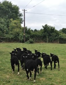 Shorn Zwartbles Ram Lambs Released