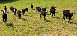 Charge of the Zwartbles Ram Lambs