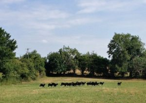 Like a Black Beaded Necklace the Lambs Gallop in a Line Across the Field