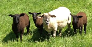Zwartbles Cross Breed lambs
