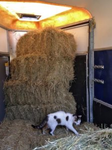 Oscar Inspecting Hay Still in the Horsebox