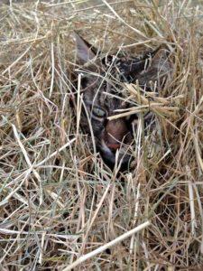 Mr.B Buried in Hay