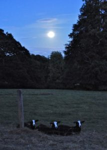 Full Moon Lambs Rest