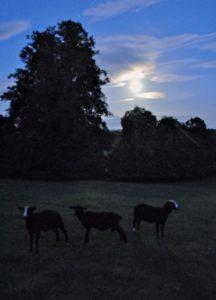 Lambs With Faint Moon Shadows