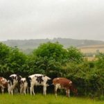 Calves Seeking Shelter From a Down Pour