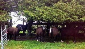 Northern Irish Zwartbles Sheltering From the Rain