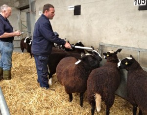 All Tagged Sheep That Enter the Mart Are Recorded by the Mart