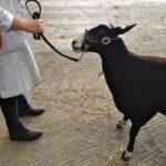 Showing Zwartbles Sheep