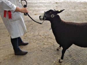 Showing Zwartbles Sheep