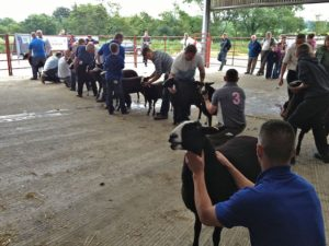 The Sheep are First Held for the Judge to Inspect Standing Conformation
