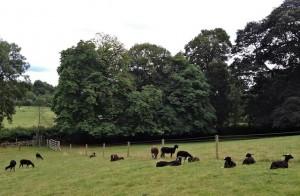 Ewe Lambs Still Having Morning Snooze