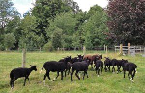 Ewe Lamb Flock on the Move