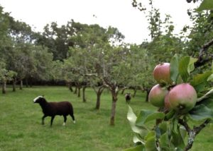 Apples Filling Nicely & Beginning to Have a Blushing of Red