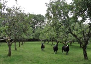 Visiting Ladies Last Night in the Orchard