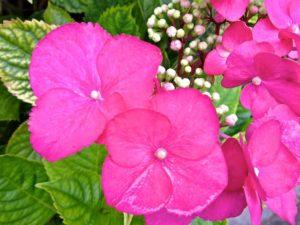Flowering Pink Hydrangea