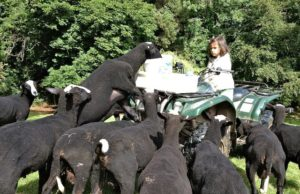 Facing off a Pack of Hungry Ram Lambs.