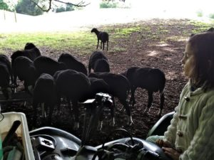 Counting Ram Lambs as They Feed