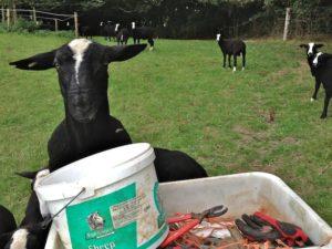 Bucket Diving Ram Lamb