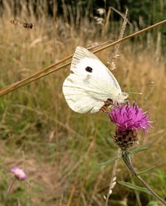 A Cabbage White Butterfly with 2 Hoverflys