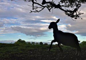 The Last Lamb Leaping