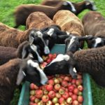 Zwartbles Love Them Apples