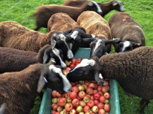 Zwartbles Love Them Apples