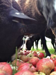 Zwartbles Sheep in Apple Munching Bliss