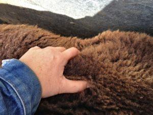 This Ewe Needs Feeding Up