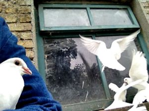 We've a few other animals here besides a flock of Zwartbles sheep. A flock of doves who breakfast on this windowledge