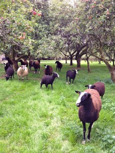 Grass inspection & look who's watching my every move thinking I might drop an apple or 2 by bumping them with my head