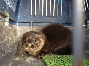 Otter cub, who was injured on it's paw