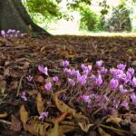 Autumnal Cyclamen