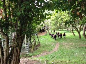 Calling in the Orchard Flock