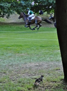 I'm Photographing a Gray Squirrel Watching the Event When an Irish Horse Gallops Past