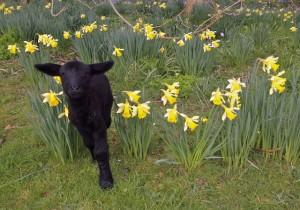 Aggee as a Lamb