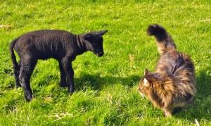 Orphan Lamb Babysitter