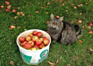 Helps Pick Windfall Apples