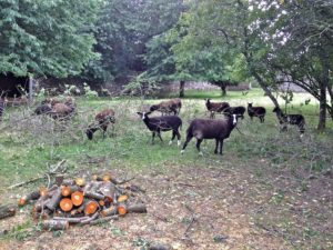 Zwartbles Sheep Stripping the Leaves
