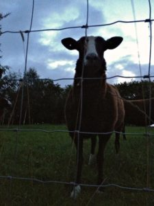 Zwartbles Ewe in the Gloaming