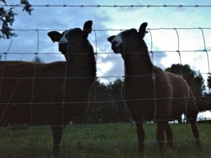 Zwartbles Ladies Listening to the Evening Drawing In