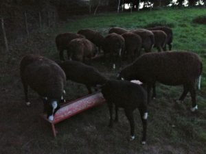Munching Their Evening Meal