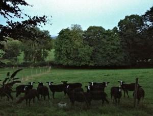 Counting Ram Lambs
