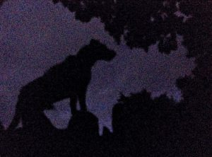 Pepper Waits Listening to the Coming Night While I feed Rams