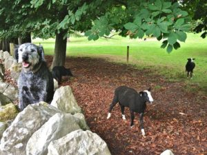 Pepper Waiting on the Ram Lambs Field Wall