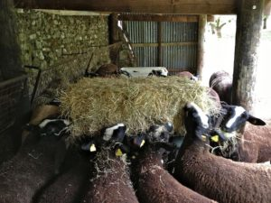 Pepper Departed as the Hungry Zwartbles Girls Crowded Around
