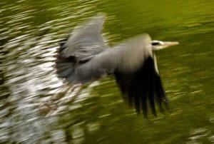 Purple Heron London Park