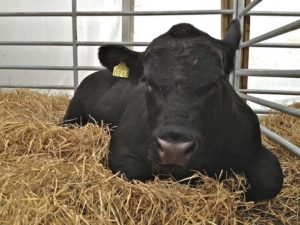 A Sleeping Angus Calf