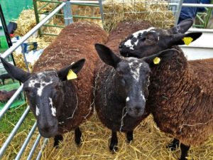 April Born Grass Fed Triplet Sister's out of a Cheviot Border Leicester cross Ewe By a Zwartbles Ram