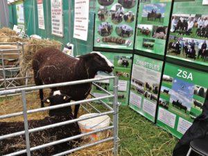 2 Zwartbles Ewes